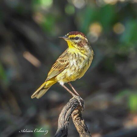 Aves en el patio de Casa Ana Birding