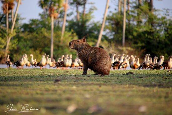 Yopal, Colombia: Capybara and Orinoco Geese
