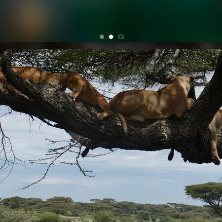 Lake Manyara National Park, تنزانيا: Tree climbing lions