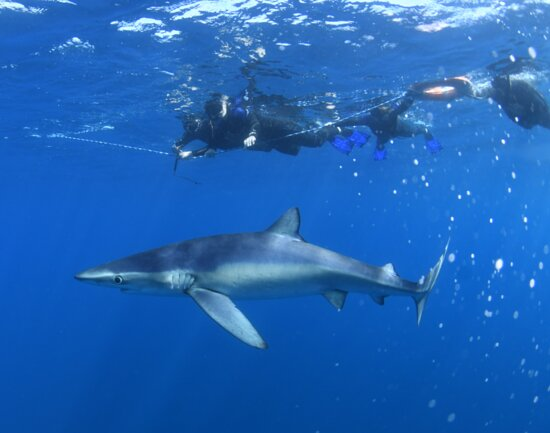 Snorkeling or Swimming with Sharks in Cabo San Lucas: All of us safely on the line, watching our visitor.