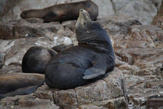 Excursão Aventura de Observação de Baleias do Zodíaco do Cabo: Sea Lions doing Yoga!