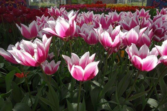 Ingresso direto para os Jardins Keukenhof: wit-roze