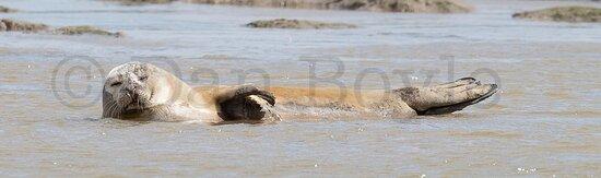 Common Seal (Phoca vitulina).