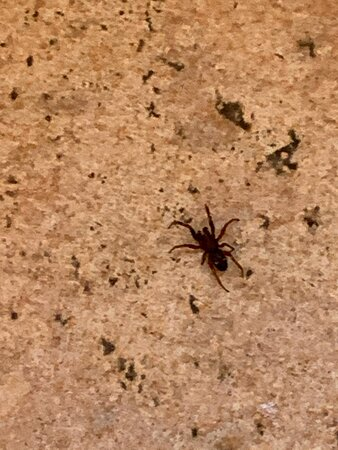 spider on laminate flooring in dining area