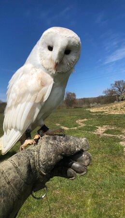 Halo the barn owl