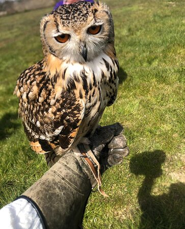 Socks the Indian eagle owl