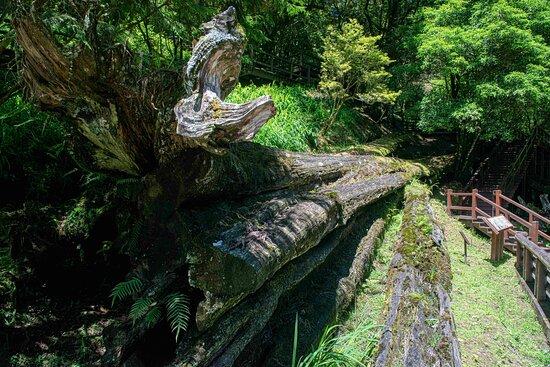 阿里山神木遗迹