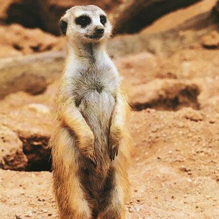 Rayleigh, UK: Meerkat
