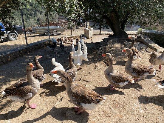 Quart, Spanien: Aves de corral para el consumo