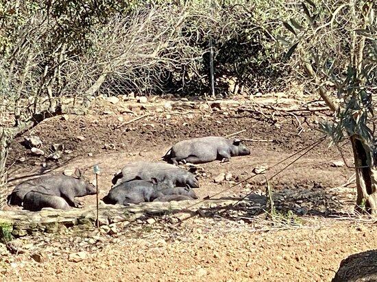 Quart, Spanien: Cerdo iberico