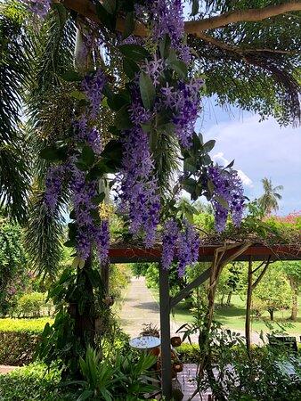 Purple bloom of summer at Siri Dara Samui