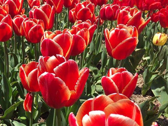 Crimea: Парад Тюльпанов в Никитском ботаническом саду 2021, как и прежде, великолепен