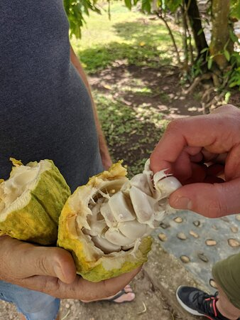 Safari: Authentic tour of the country, culture, local life: fèves de cacao