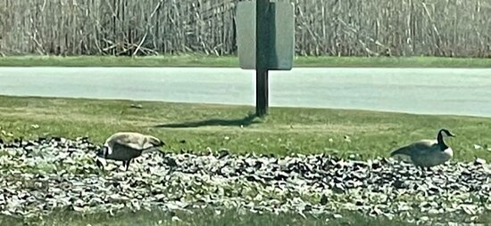 Two of the many Canadian geese we saw.