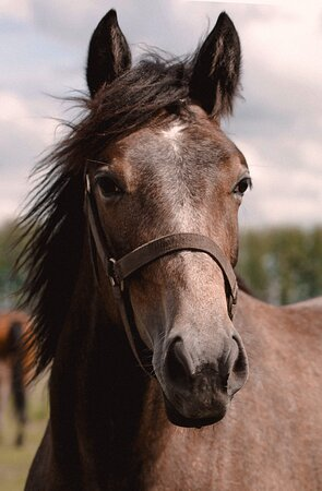 Лошади Злынского конезавода, Horse of Zlynskiy stud