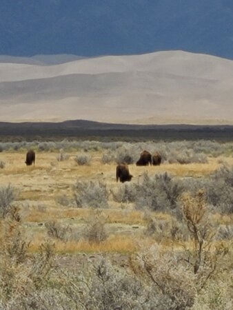 Bison, including babies playing, at the foot of the dunes