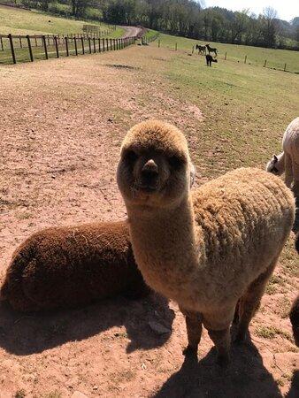 Monmouthshire, UK: Super cute alpacas