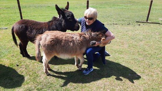 Monmouthshire, UK: Sweet miniature donkeys