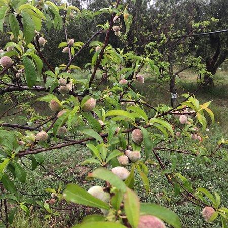 Maracalagonis, Italien: Sardegna i primi frutti albicocche ciliegie e susine e pesche