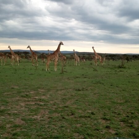 محمية ماساي مارا الوطنية, كينيا: A journey of hundreds begin with a single step. A journey of maasai giraffe For booking contact benkurash@gmail.com ASAP 0713979111