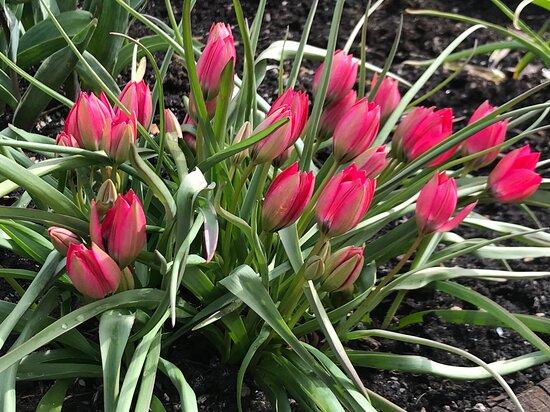 Tayvallich, UK: Botanical tulips not far from the Inn
