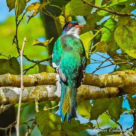 Joyas endémicas de la ornitología cubana
