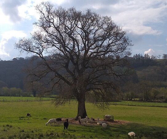 Woodlands Alpacas