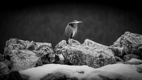 Blue Heron in the snow