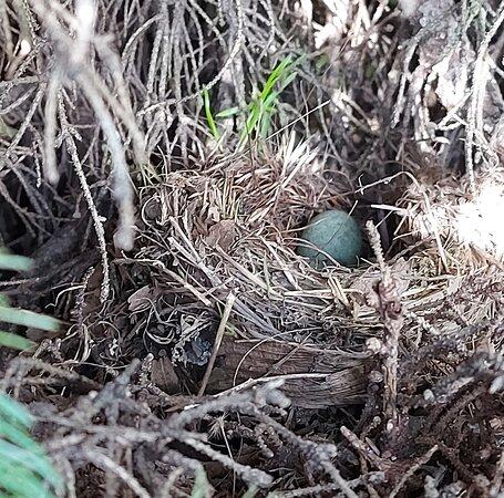 Meda, Italien: Un nido di merli 🐣🐣🐣tra i rami del pino🌲🌲🌲