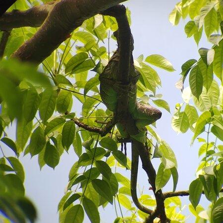Iguana in Cahuita