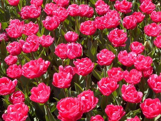 Tulips Mozirski gaj 2