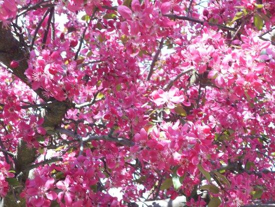 Blooming tree Mozirski gaj