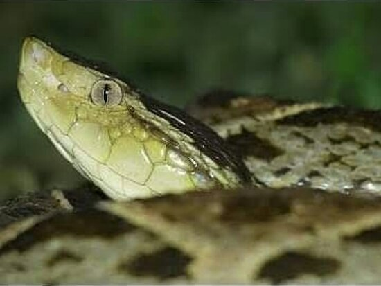Arenal Volcano National Park, Costa Rica: Sixty percent more poisonous in Costa Rica. Fer-de lance  Terciopelo