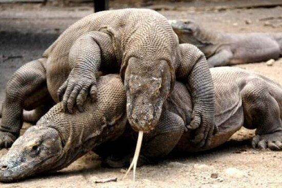 MARVELOUS 2 DAYS/1 NIGHT KOMODO TOUR    this marvelous tour package will bring you to see the legendary of KOMODO DRAGON and witness spectacular landscape of komodo national park DAY 01. ( LABUAN BAJO – KELOR ISLAND – MANJARITE BAY – RINCA ISLAND – KALONG  pick you up at hotel or at airport in Labuan bajo by local tour guide then drive to the port of Labuan bajo to catch a local wooden boat trip to Kelor island for snorkel,swim and relax on white sands beach – boat to Manjarite Bay for to see c