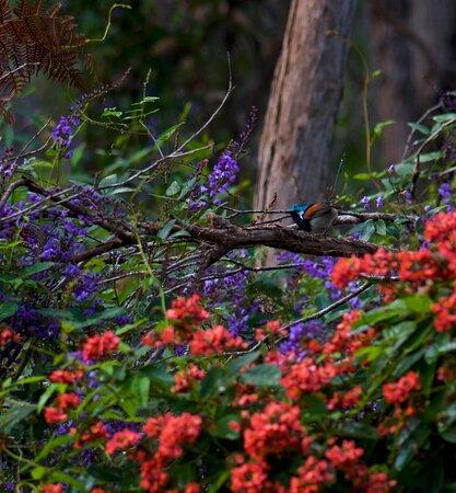 Red winged fairy wren
