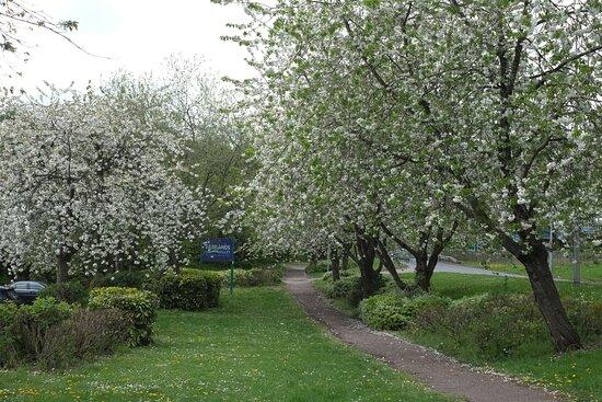 Cherry blossom by entrance car park