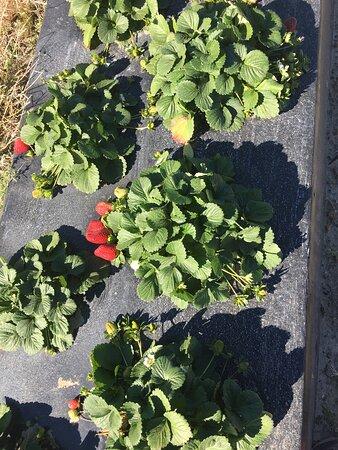 Enigma, GA: you pick strawberries were huge and super sweet!