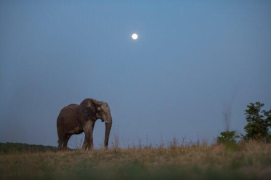 Zambezi National Park, Zimbabwe: Elephant bull with the moon in the background