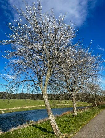 The peaceful upper section of the Riverside walk path, with the wild cherry trees just coming into blossom.