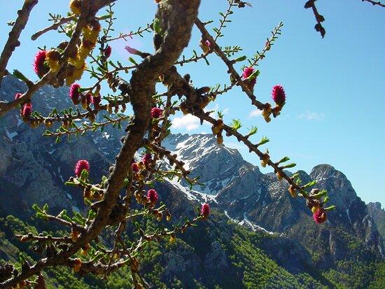 Esino Lario, Italy: Gemme rosse di primavera con la fioritura del larice sul Monte Croce. Sullo sfondo a destra il Sasso Cavallo e al centro una porzione della Grigna.