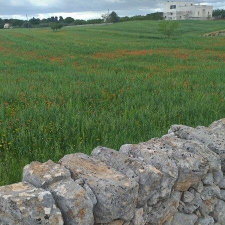 Torre Canne, Italien: Spuntano i papaveri nel campo di grano
