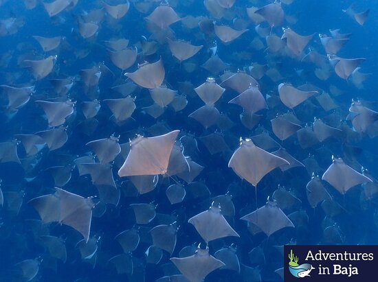 The mass migration of Mobulas arrives in Cabo San Lucas May 21!!