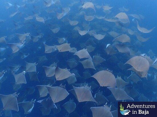 Mobula migration - Into the Blue tour