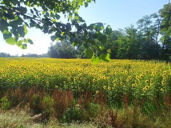 Ecco una foto che riempie il cuore, uno dei nostri campi di girasole in fiore!