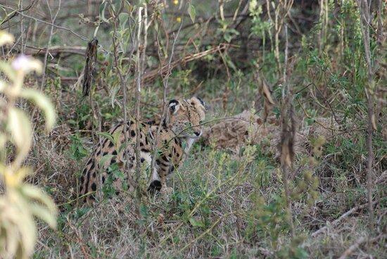 """محمية ماساي مارا الوطنية, كينيا: Souvenirs de mes Voyages --- Kenya -- Toujours très difficile de surprendre ce magnifique félin """" Le Serval """" -- 21.05.15 -- Cliquer sur la photo pour découvrir la prise de vue complète"""
