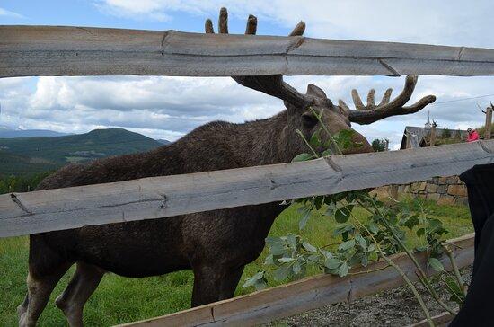 Nedre Heidal, Norge: moose