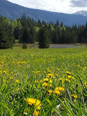 Heron, MT: Just a fun picture with dandelions, and the pond in the trees. (Cell phone picture, closer in person.)