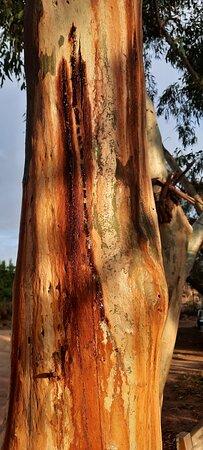 Northampton, Úc: Lots of gorgeous gum trees