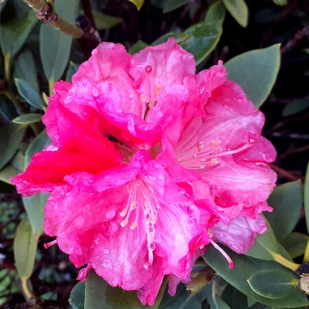 Rhododendron this spring