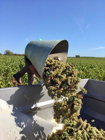 Noizay, France: Grapes around Vouvray and often picked by hand. This ensures they are of the highest quality, clean and healthy. Only the best grapes are picked ensuring top quality raw ingredients to make a top wine.